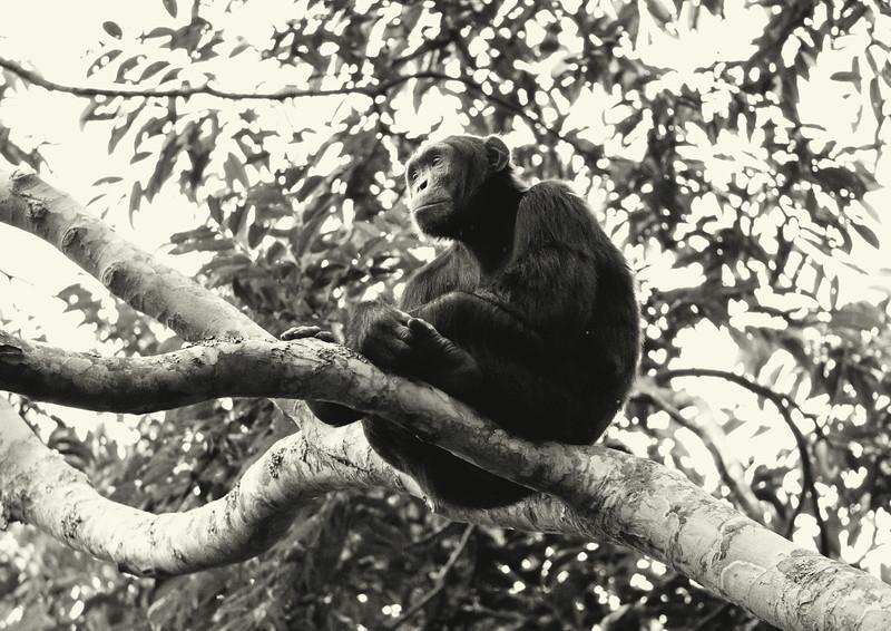 Uganda_T_Chimps-938.jpg