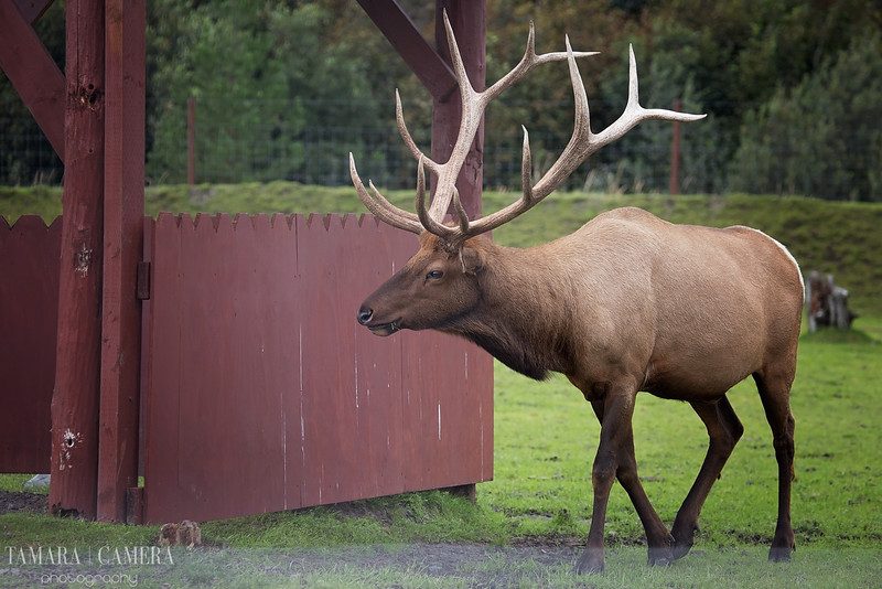 Bull Elk-3-2.jpg