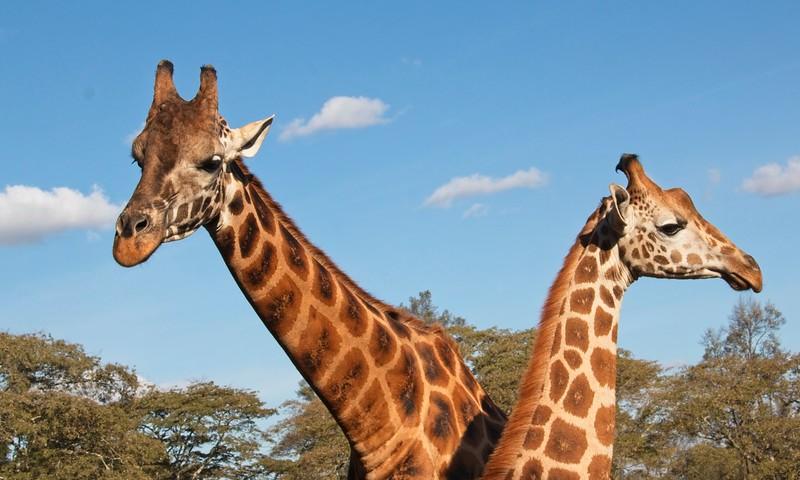 Rothschild's Giraffe, Giraffe Manor. Karen, Nairobi
