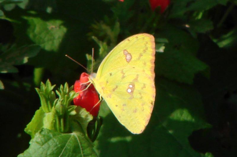 Cloudless Sulphur (Phoebis sennae) female.  TX: Zapata Co. (San Ygnacio Sanctuary), 6 June 2007.