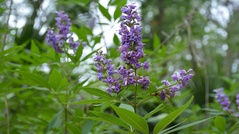 Purple flower of Chaste Tree