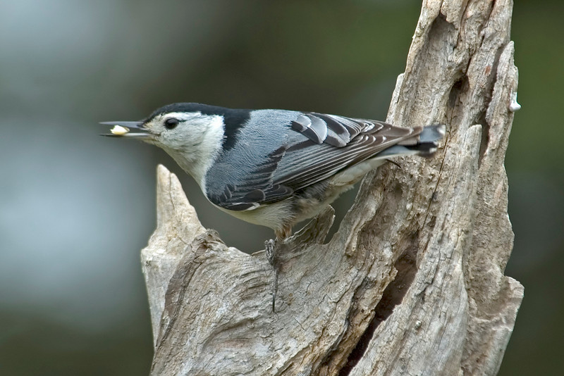 Nuthatch - White-breasted - male - Dunning Lake, MN - 01