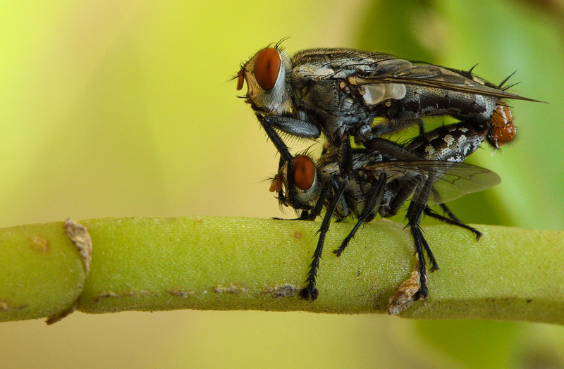 Mating-flies-bangalore.jpg