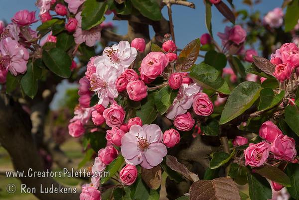 Brandywine Flowering Crabapple (Malus 'Branzam')