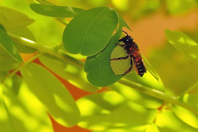 Leaf-cutter-bee-03.jpg