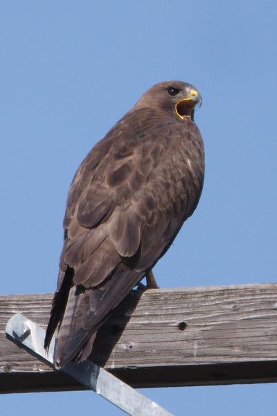 Swainson's Hawk dark morph adult (1) at Firebaugh, CA (07-18-2009)
