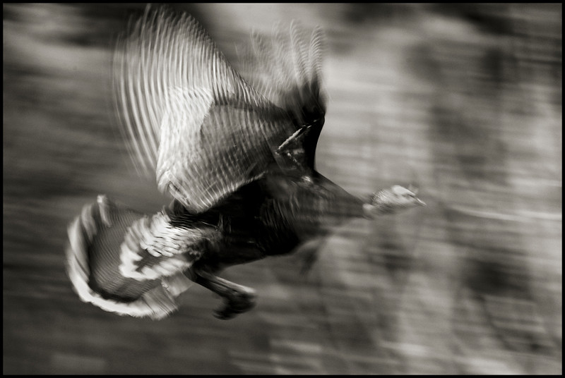 Wild Turkey in flight.