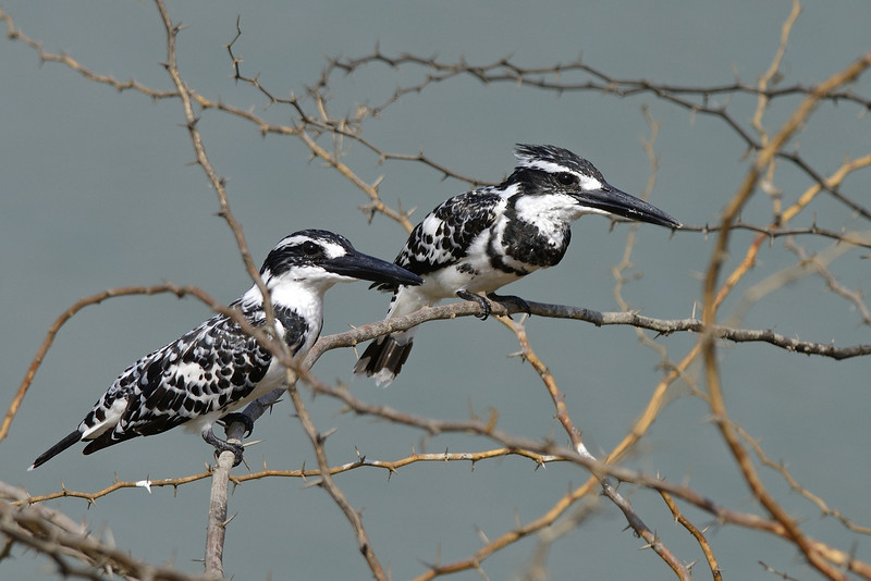 Pied-Kingfisher-pair.jpg