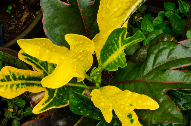 Mammy Croton After the Rain