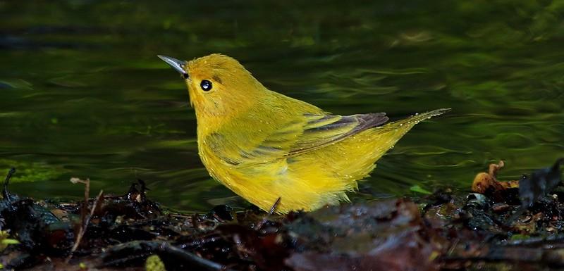 aaHi Island Weds 5-2-2018 155A Yellow Warbler-155.jpg