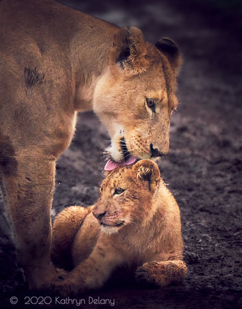 Lioness cleaning her cub