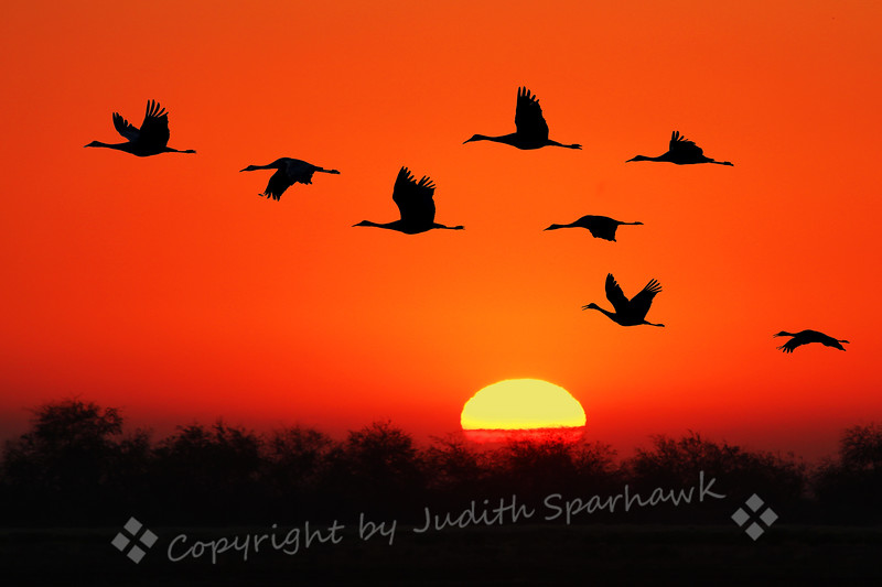 Sandhill Cranes at Sunrise ~ These early Sandhills were flying out to the fields to feed, making their wonderful melodious calls.  