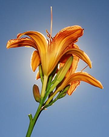 Flowers I-P