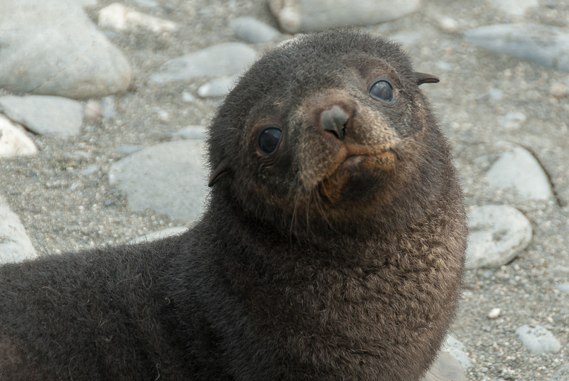 Fur seal at Salisbury Plain, South Georgia Island