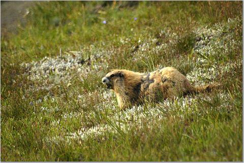 Olympic Mountain Marmots