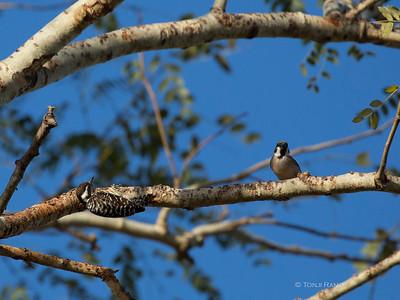 woodpecker vs sparrow