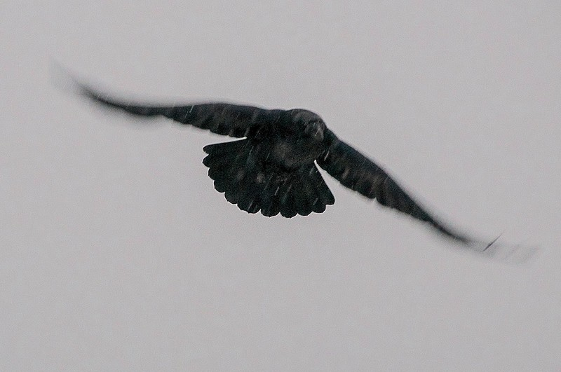 Grey Day Raven