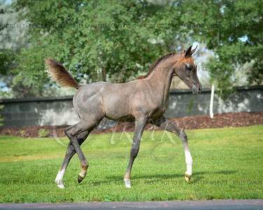 Grey Chall colt
