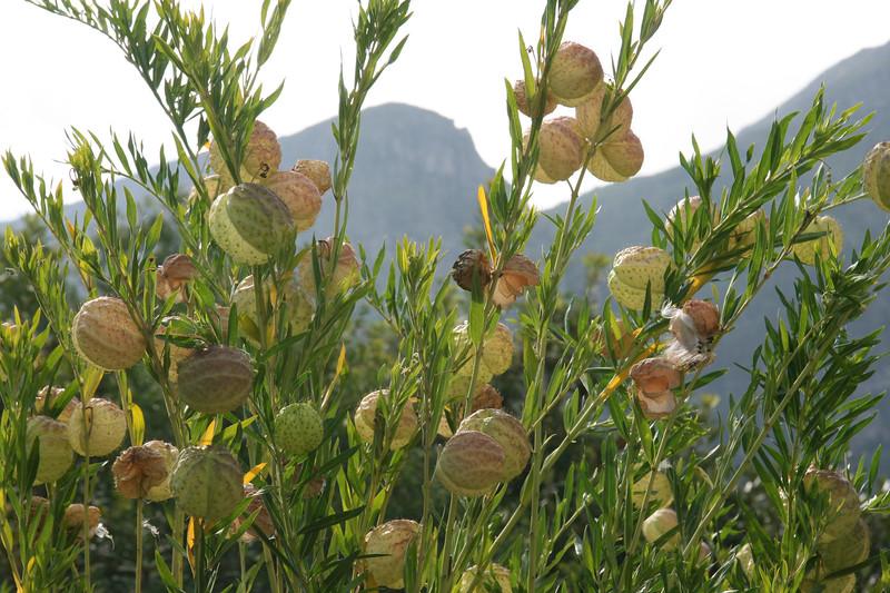Kirstenbosch - S Manischewitz