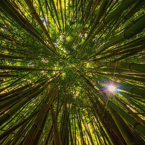 bamboo forest maui.jpg