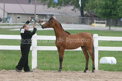 Arabian Geldings and Stallions