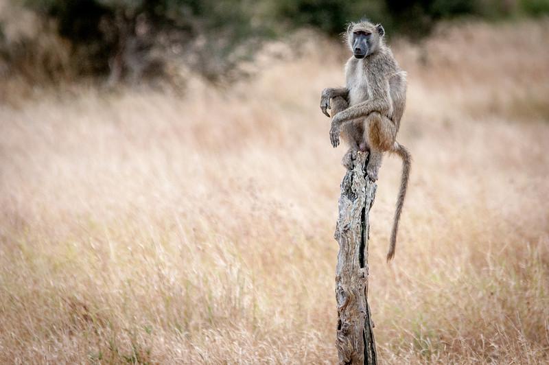 Monkey in Kruger National Park, South Africa