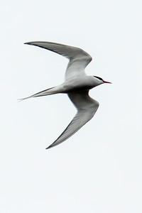 Aug. 10, 2014 - Iceland - Arctic Terns