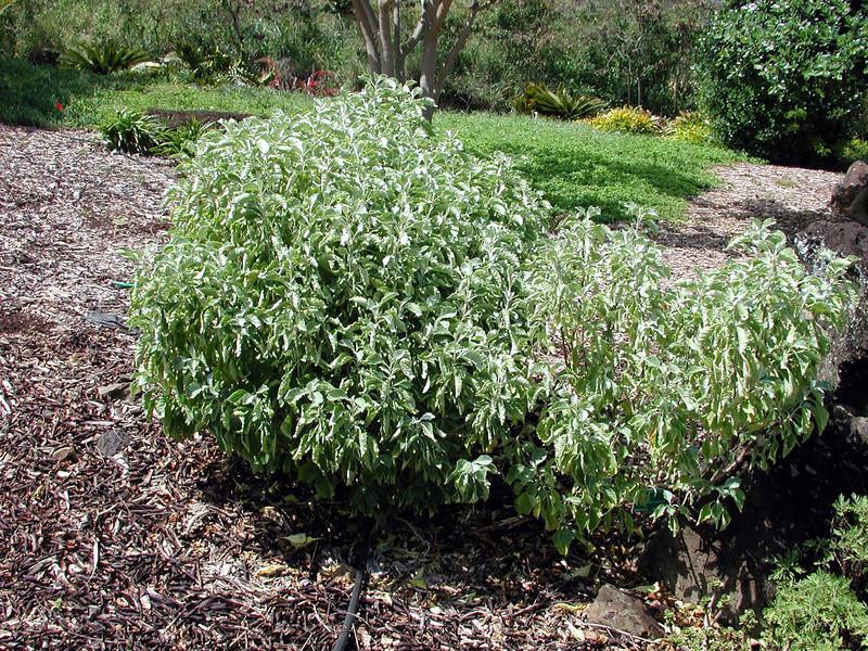 Achyranthes splendens splendens 01.jpg