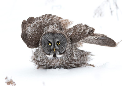 Great Gray Owl Montreal/Ottawa