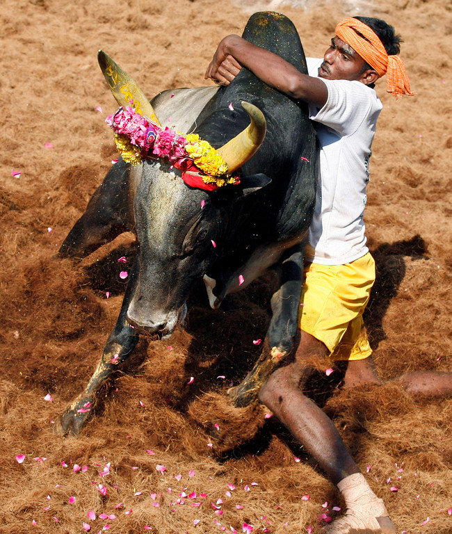 . A bull tamers tries to control a bull during the bull-taming sport called Jallikattu, in Alanganallur, about 530 kilometers (331 miles) south of Chennai, India, Wednesday, Jan. 16, 2013. Jallikattu is an ancient heroic sporting event of the Tamils played during the harvest festival of Pongal. (AP Photo/Arun Sankar K.)