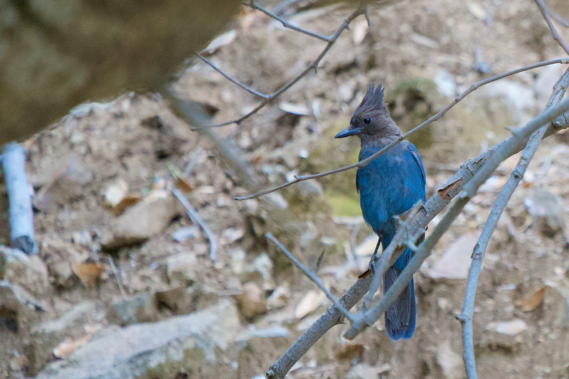Steller's Jay in Big Sur