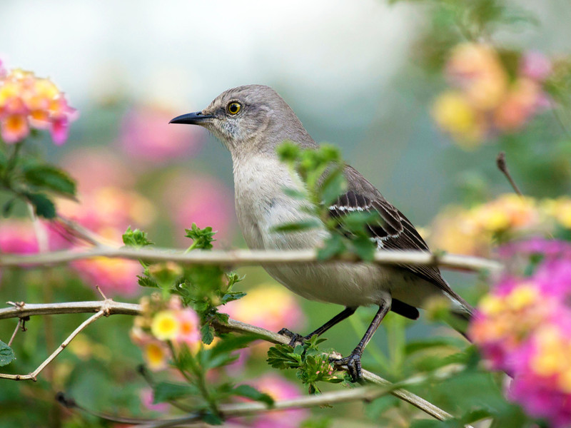 Mocking bird in the lantana