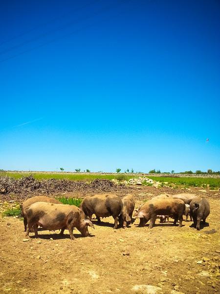 Masseria Marangiosa pigs.jpg