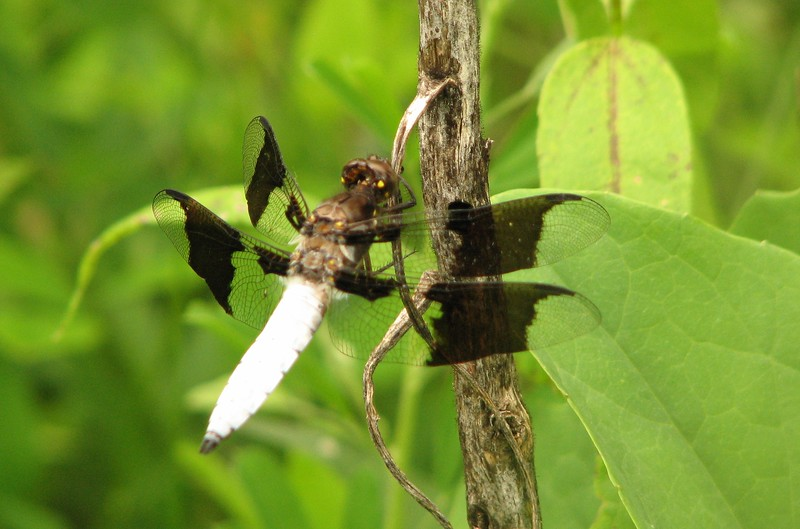 White Tail Dragonfly
