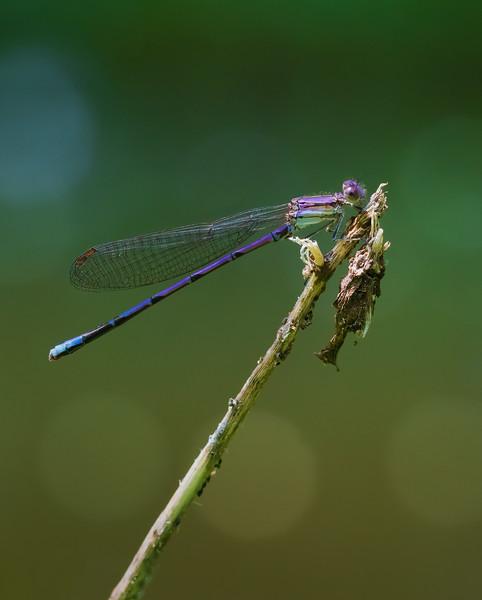 Purple Damselfly on a Reed