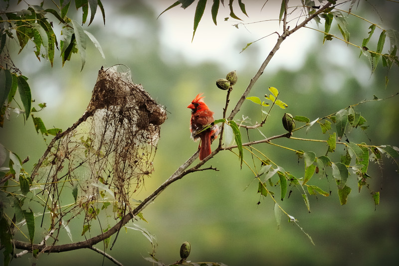 It's hard to photograph hummers on a cloudy day, so I was happy this cardinal sat for a brief moment allowing me to capture the moment.