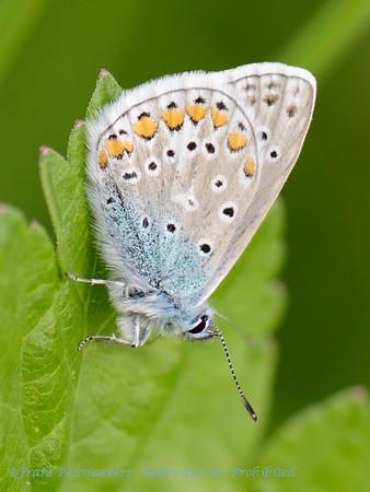 Icarusblauwtje; L'Argus Blue Roi; Kleiner Esparcettenbläuling; Chapman's Blue; Polyomattus thersites