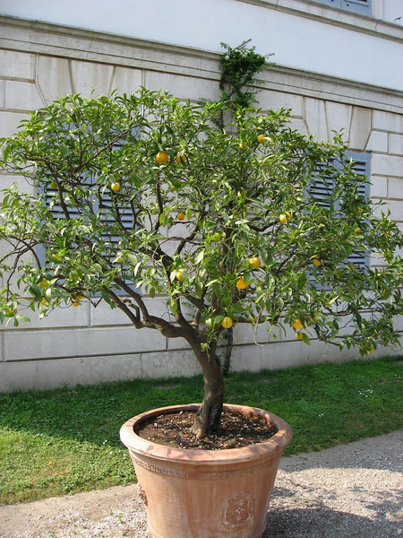 Lemon Tree in Bellagio