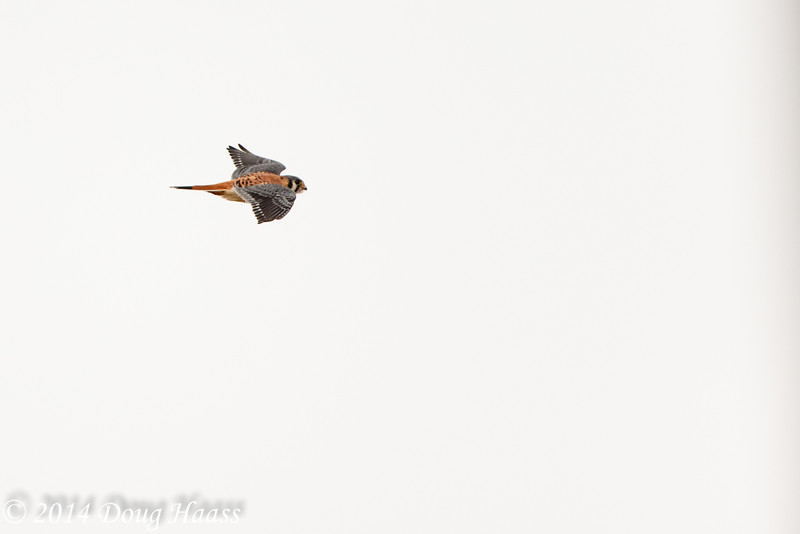 American Kestrel Falco sparverius in flight.