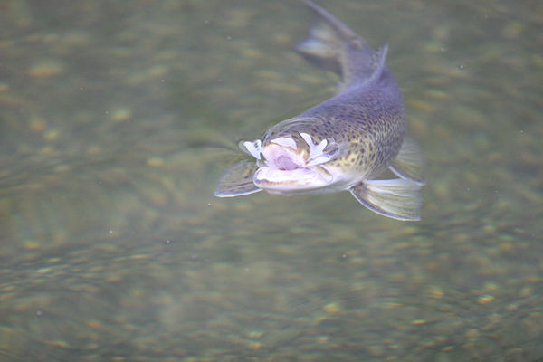 060113 Tiger Trout