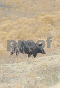 agencies-biologists-cautious-about-texas-approved-wild-pig-toxicant