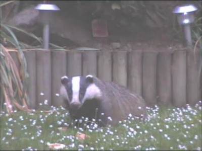 Video Badgers and Fox in Garden