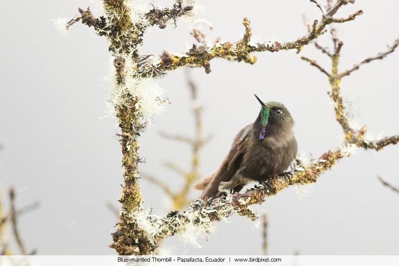 Blue-mantled Thornbill - Papallacta, Ecuador