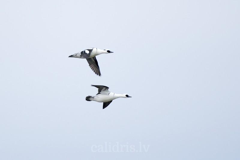 Smew in flight