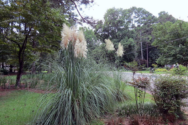 August 22:  The Pampas Grass is blooming .  .  .