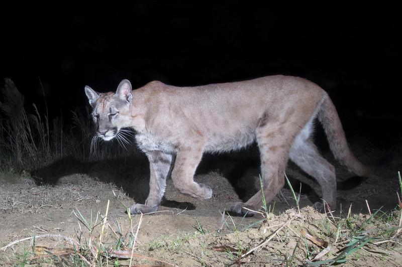 panther 8.jpg