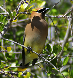 Cedar Waxed winged