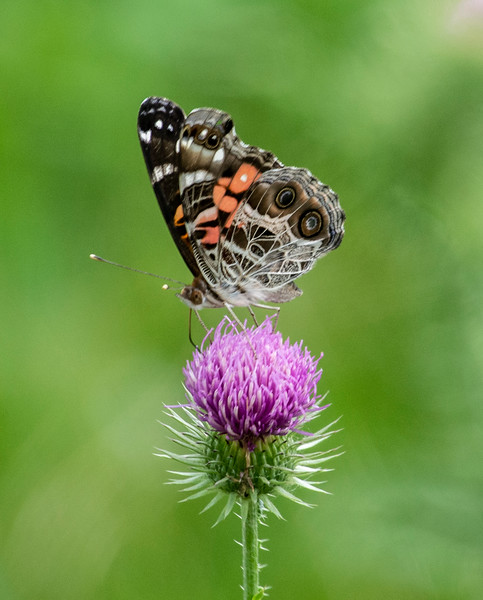 butterfly-thistle-osinga-farm.jpg
