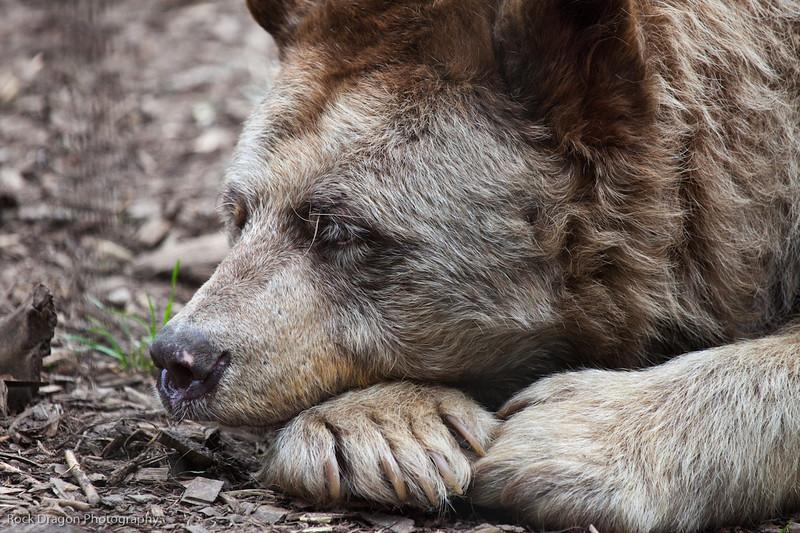 Black Bear, Calgary Zoo
