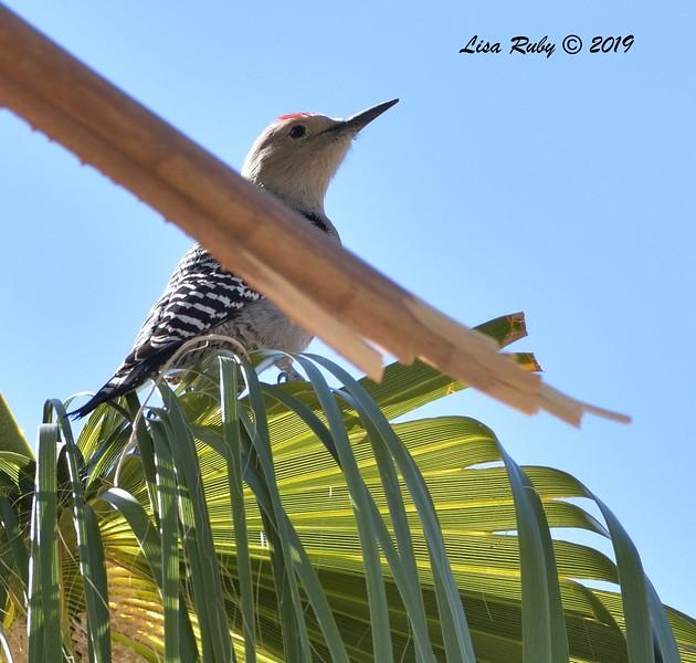 Gila Woodpecker  - 10/29/2019 - Wickenburg Neighborhood